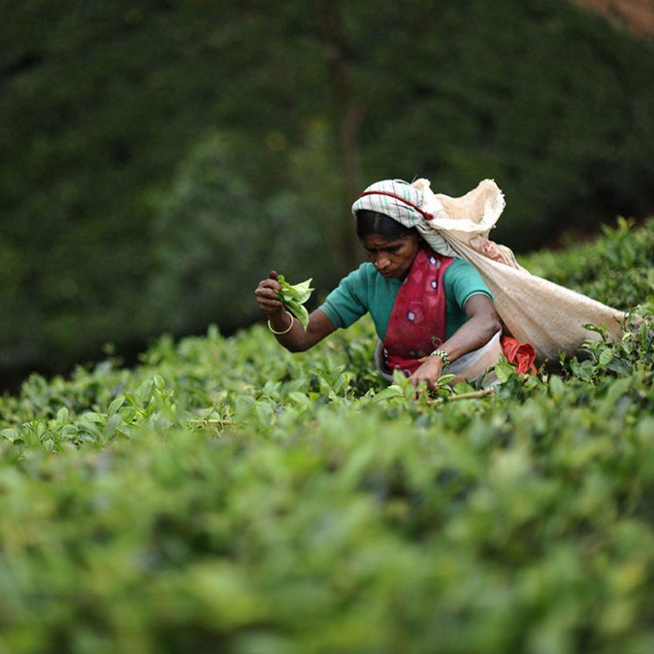 Sri Lanka, la route du thé