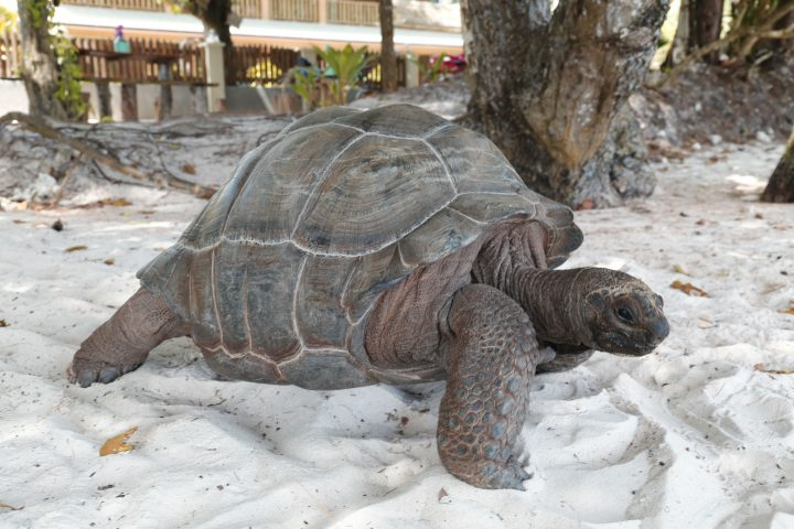 Tortues aux Seychelles La Digue