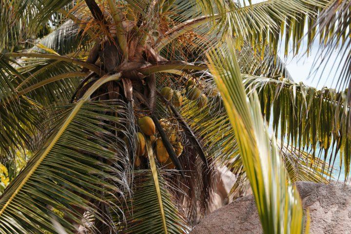 Cocotiers La Digue Seychelles
